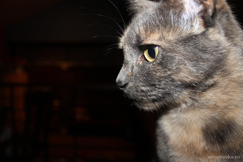 Стригущий лишай у кошек: симптомы, лечение
