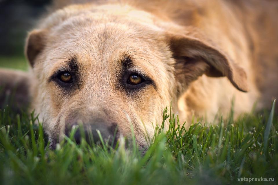 Лишай у собак: разновидности, признаки, лечение