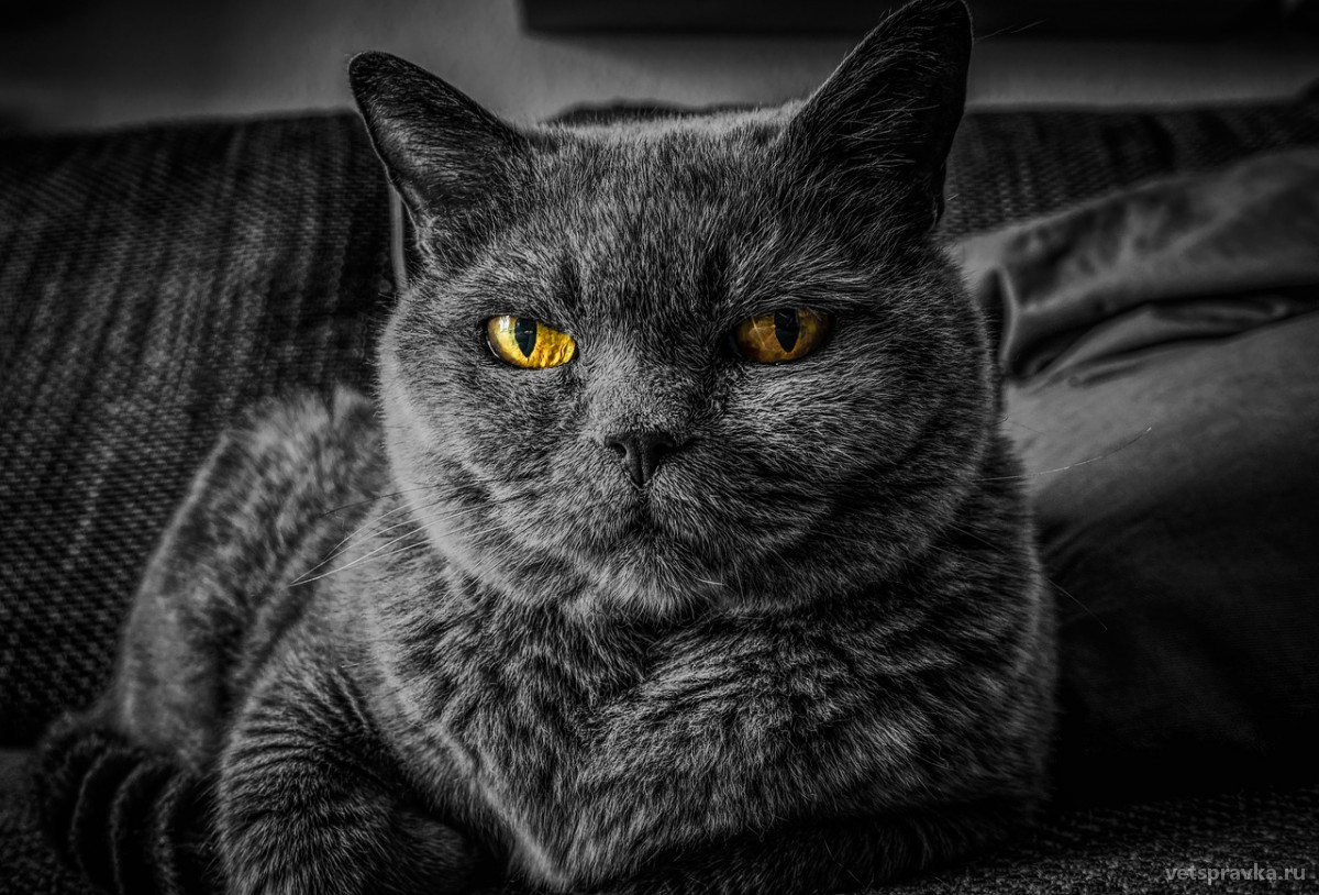 Сахарный диабет у кошки