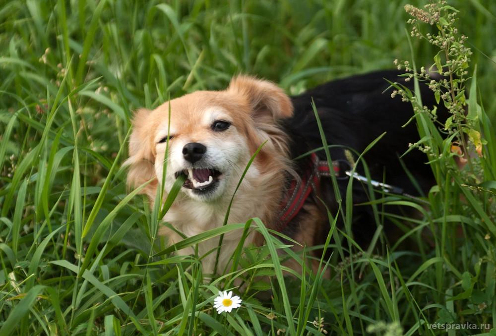 Собака ест траву. Польза или вред?