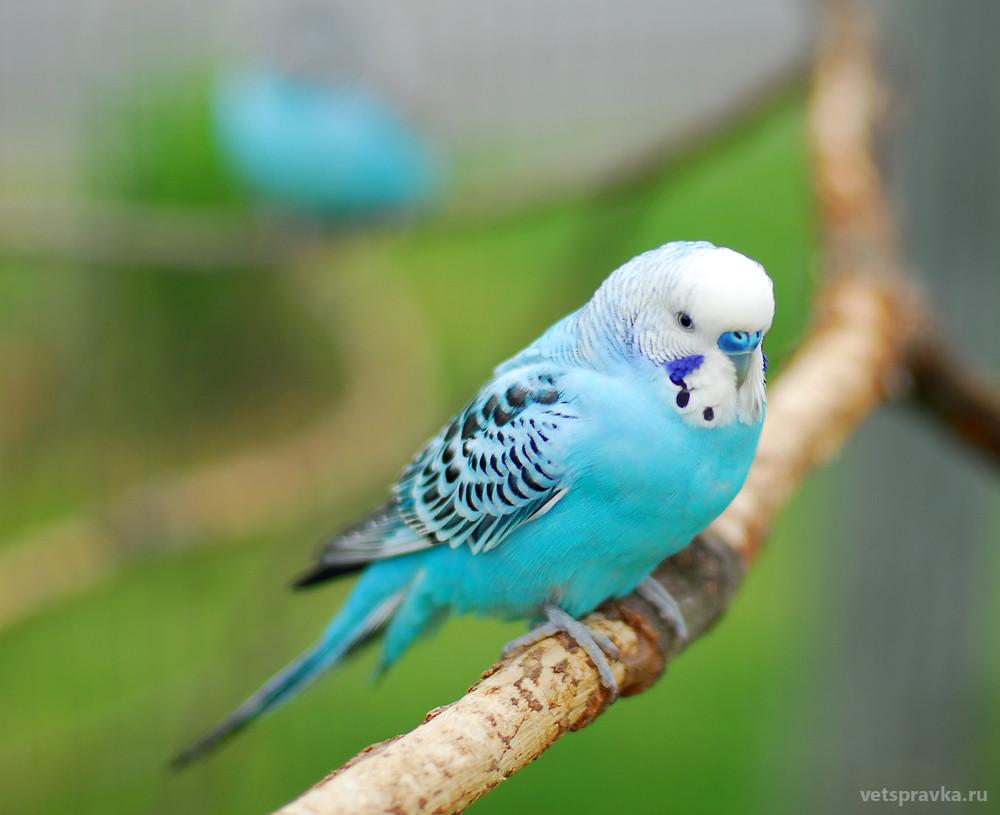 Можно ли научить волнистого попугайчика говорить?