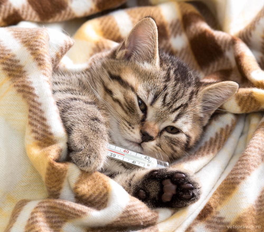 Ринотрахеит кошек: симптомы, лечение