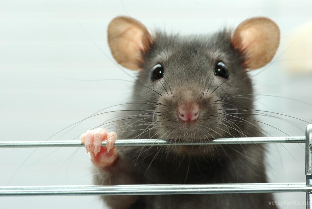 Уход и содержание домашних крыс