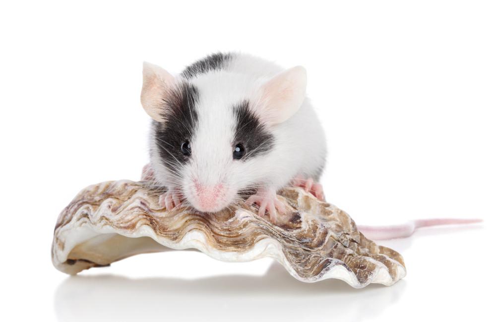Декоративные домашние мыши: уход и содержание
