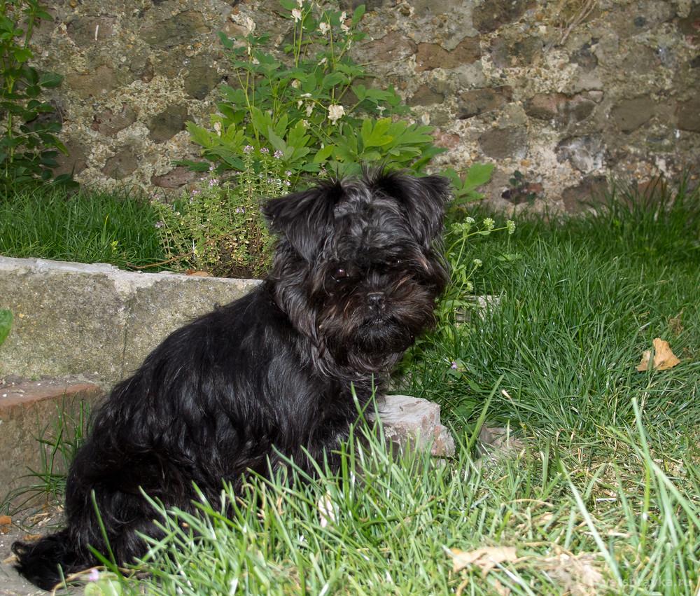 Порода собак аффенпинчер: особенности, фото, характеристика