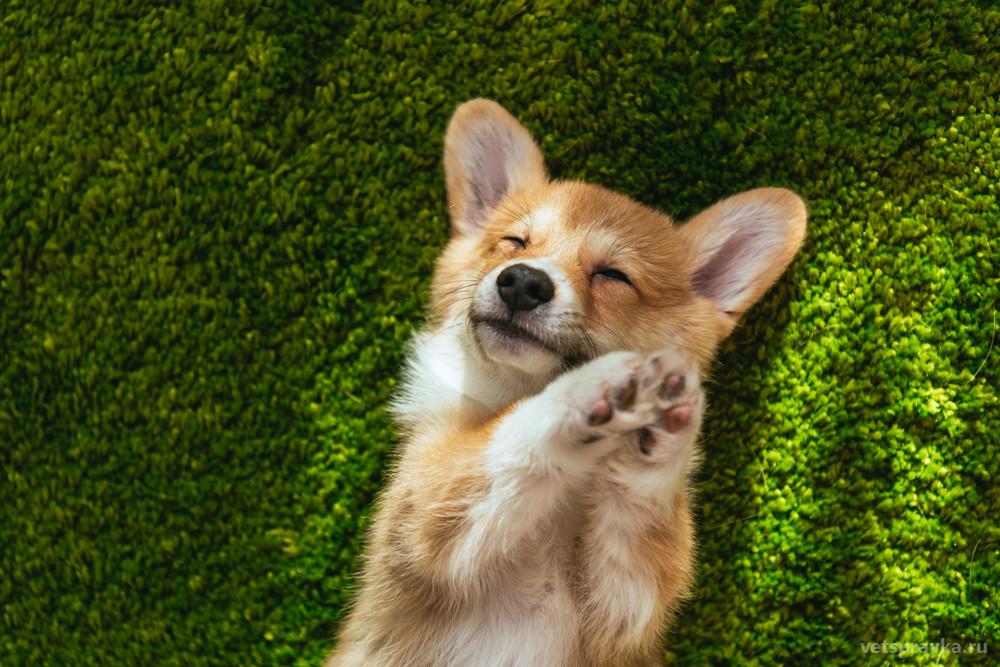 Порода собак корги: фото, описание и характеристика