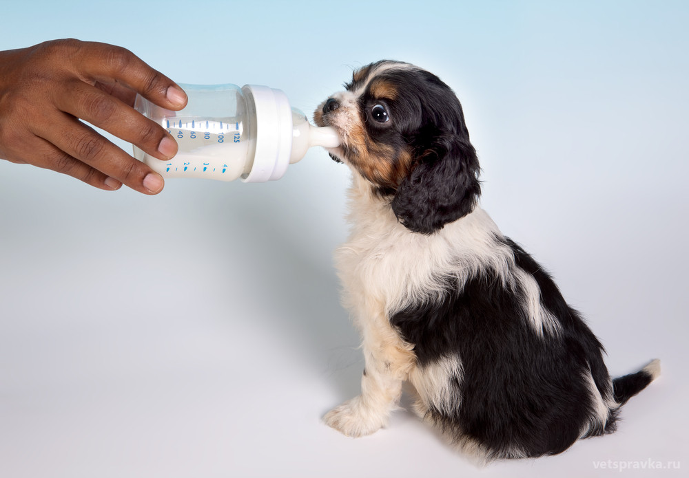 Можно ли собакам молоко?
