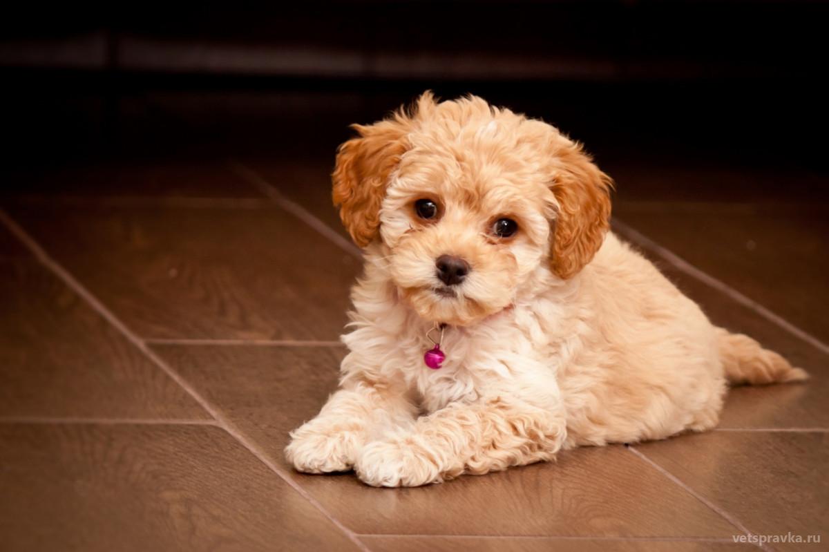 Порода собак мальтипу: особенности, описание, характер