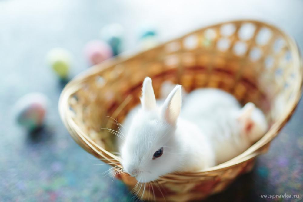 Нидерландский карликовый кролик — особенности породы