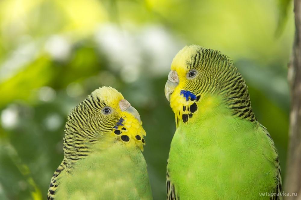 Линька волнистого попугая