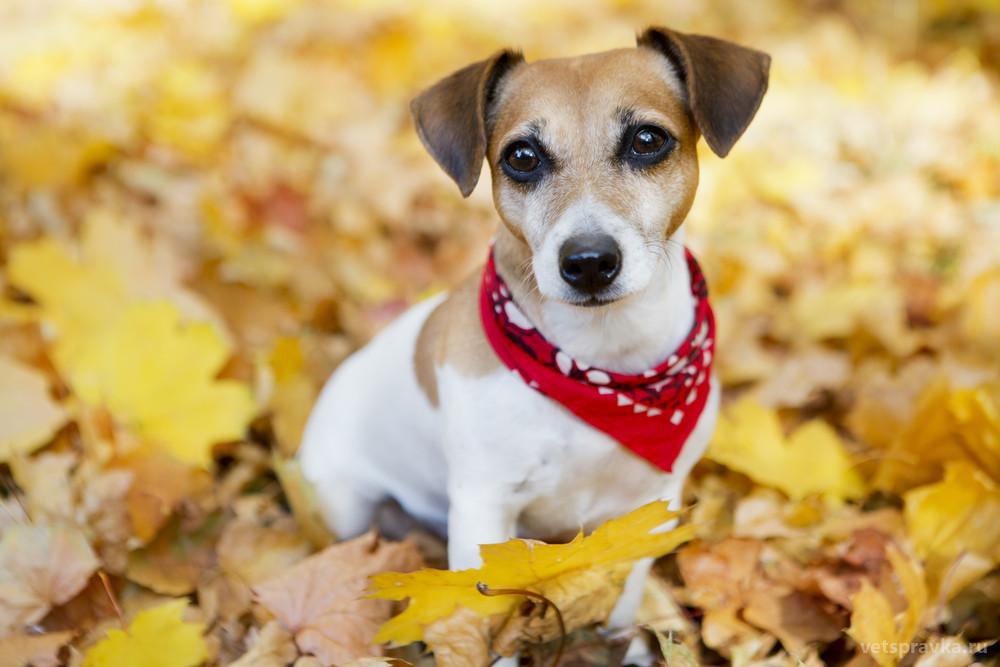 Порода собак Джек-рассел-терьер — описание, характер, фото