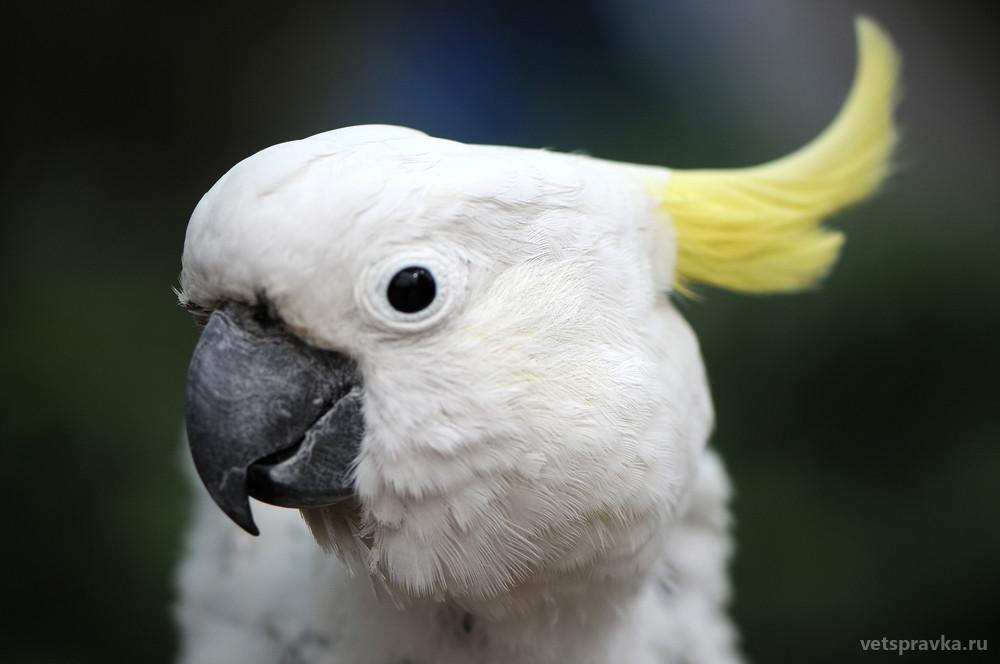 Попугай какаду: особенности, уход, характер