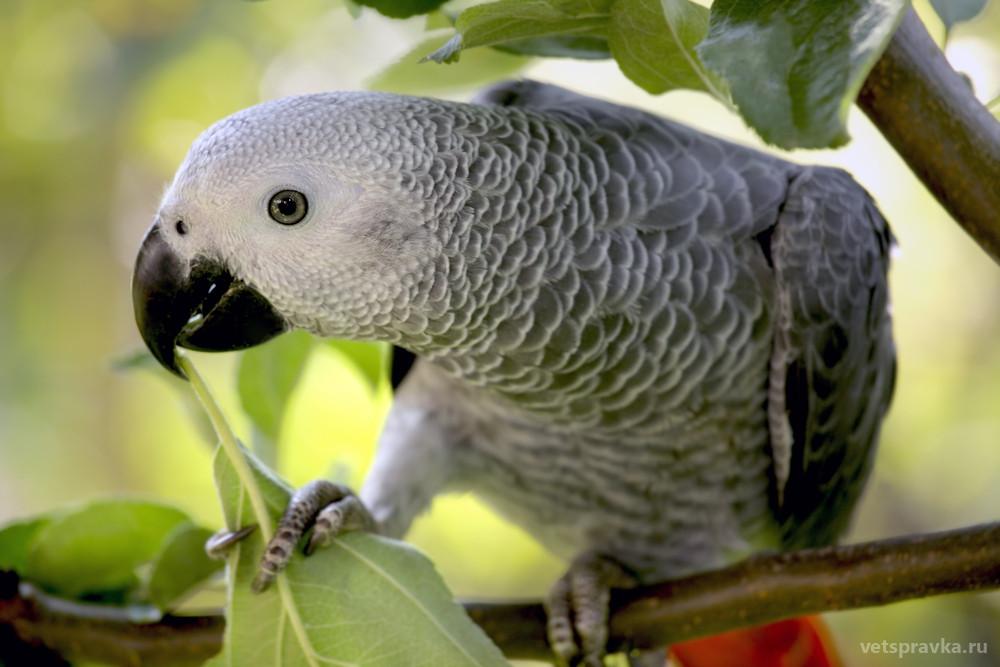 Попугай Жако: особенности, характер, уход
