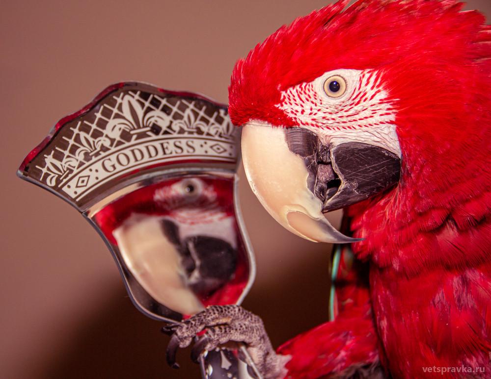 Какого говорящего попугая выбрать и купить?
